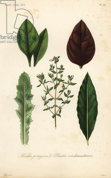 Leaf vegetables and herbs, Herbes potageres et plantes condimenteires