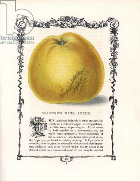 "Common apple, Warner's King variete. Lithograph by Benjamin Maund (1790-1863) published in The Fruitist, London, England, 1850. Warner's King apple, Malus domestica. Handcoloured glyphograph from Benjamin Maund's """" The Fruitist,"""" London, 1850, Groombridge and Sons."