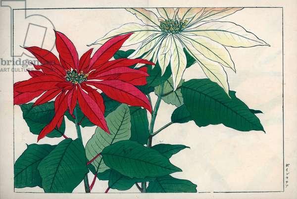 "Poinsettia, crimson and white variety. Crimson and white poinsettia, Euphorbia pulcherrima. Handcoloured woodblock print from Konan Tanigami's """" Seiyou Sokazufu"""" (Pictorial Album of Western Plants and Flowers: Autumn Winter), Unsodo, Kyoto, 1917. Tanigami (1879-1928) depicted 125 varieties of garden plants through the four seasons."
