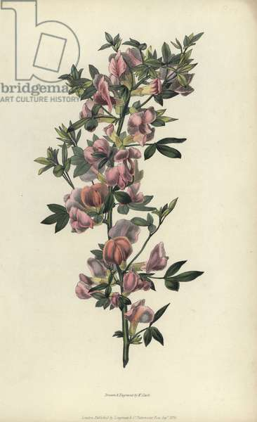 """Purple broom, Cytisus purpureus. Handcoloured botanical illustration drawn and engraved by William Clark from Richard Morris's """"Flora Conspicua"""" London, Longman, Rees, 1826. William Clark was former draughtsman to the London Horticultural Society and illustrated many botanical books in the 1820s and 1830s."""