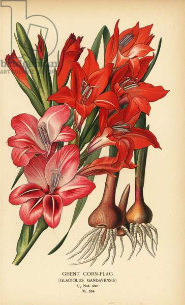 Ghent cornflag, Gladiolus x gandavensis. Chromolithograph from an illustration by Desire Bois from Edward Step's Favourite Flowers of Garden and Greenhouse, Frederick Warne, London, 1896.