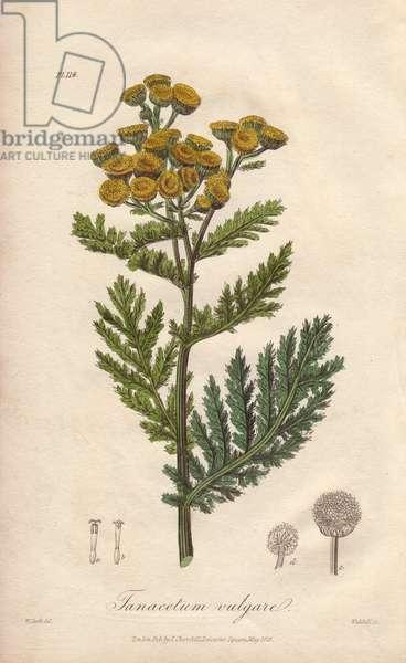 Tansy, Tanacetum vulgare