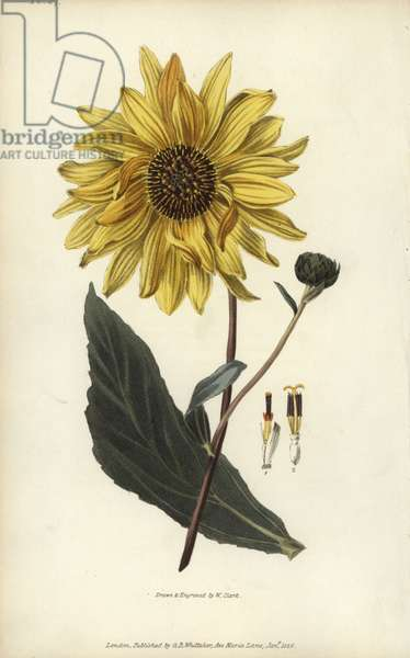 """Purpledisk sunflower, Helianthus atrorubens. Handcoloured botanical illustration drawn and engraved by William Clark from Richard Morris's """"Flora Conspicua"""" London, Longman, Rees, 1826. William Clark was former draughtsman to the London Horticultural Society and illustrated many botanical books in the 1820s and 1830s."""