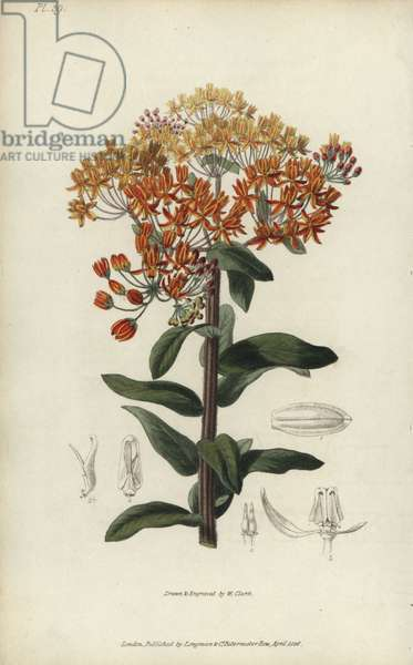 """Butterfly weed, Asclepias tuberosa. Handcoloured botanical illustration drawn and engraved by William Clark from Richard Morris's """"Flora Conspicua"""" London, Longman, Rees, 1826. William Clark was former draughtsman to the London Horticultural Society and illustrated many botanical books in the 1820s and 1830s."""