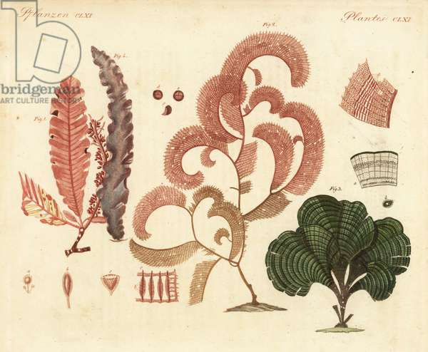 Delesseria sanguinea, Claudea elegans, Padina pavonica, and Porphyra purpurea. Handcoloured copperplate engraving after from Friedrich Johann Bertuch's Bilderbuch fur Kinder (Picture Book for Children), Weimar, 1823.
