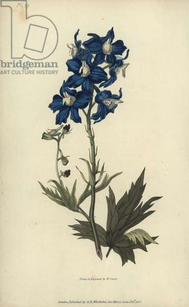"""White-eyed larkspur; Delphinium mesoleuum. Handcoloured botanical illustration drawn and engraved by William Clark from Richard Morris's """"Flora Conspicua"""" London, Longman, Rees, 1826. William Clark was former draughtsman to the London Horticultural Society and illustrated many botanical books in the 1820s and 1830s."""