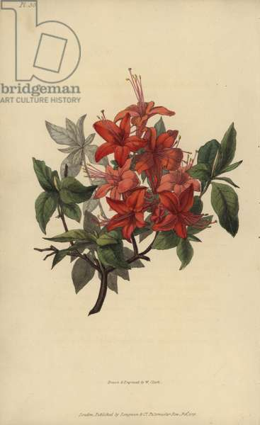 """Scarlet azalea, Rhododendron nudiflorum coccinea major. Handcoloured botanical illustration drawn and engraved by William Clark from Richard Morris's """"Flora Conspicua"""" London, Longman, Rees, 1826. William Clark was former draughtsman to the London Horticultural Society and illustrated many botanical books in the 1820s and 1830s."""