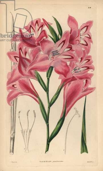 Glaieul - Blush-flowered cornflag hybrid, Gladiolus x pudibundus (Gladiolus cardinalus x Gladiolus blandus). Handcoloured copperplate engraving by Weddell after J. Hart from John Lindley and Robert Sweet's Ornamental Flower Garden and Shrubbery, G. Willis, London, 1854.