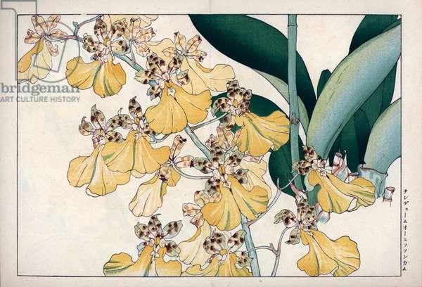 "Orchid oncidium ornithorhynchum. Oncidium ornithorhynchum orchid. Handcoloured woodblock print from Konan Tanigami's """" Seiyou Sokazufu"""" (Pictorial Album of Western Plants and Flowers: Autumn Winter), Unsodo, Kyoto, 1917. Tanigami (1879-1928) depicted 125 varieties of garden plants through the four seasons."