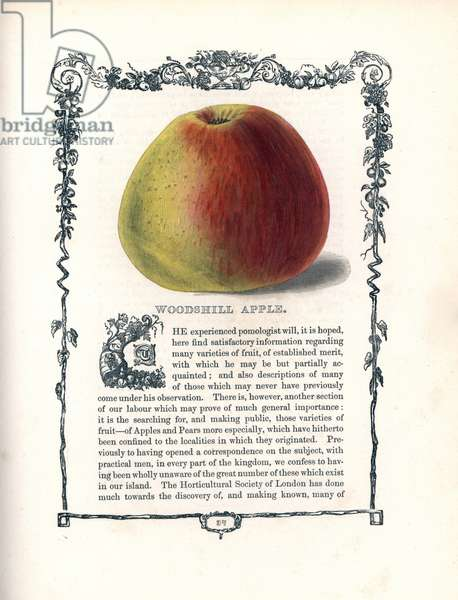 "Apple Woodshill. Lithograph by Benjamin Maund (1790-1863) published in The Fruitist, London, England, 1850. Woodshill apple, Malus domestica, within a Della Robbia ornamental frame with text below. Handcoloured glyphograph from Benjamin Maund's """" The Fruitist,"""" London, 1850, Groombridge and Sons."