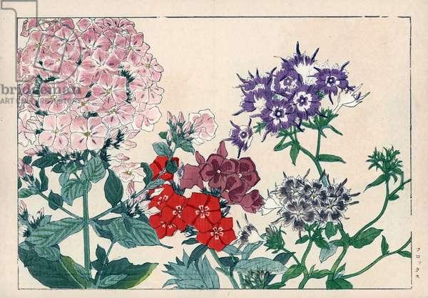 "Phlox panicle or perennial. Garden phlox, Phlox paniculata. Handcoloured woodblock print from Konan Tanigami's """" Seiyou Sokazufu"""" (Pictorial Album of Western Plants and Flowers: Summer), Unsodo, Kyoto, 1917. Tanigami (1879-1928) depicted 125 varieties of garden plants through the four seasons."