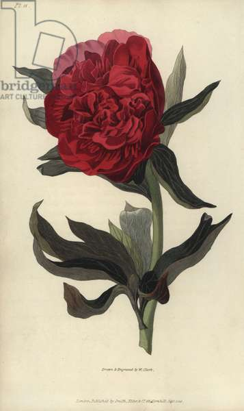 """Double red peony, Paeonia officinalis rubra plena. Handcoloured botanical illustration drawn and engraved by William Clark from Richard Morris's """"Flora Conspicua"""" London, Longman, Rees, 1826. William Clark was former draughtsman to the London Horticultural Society and illustrated many botanical books in the 1820s and 1830s."""