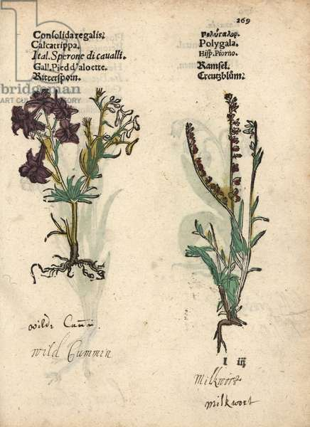 Field larkspur, Consolida regalis, and milkwort, Polygala vulgaris. Handcoloured woodblock engraving of a botanical illustration from Adam Lonicer's Krauterbuch, or Herbal, Frankfurt, 1557. This from a 17th century pirate edition or atlas of illustrations only, with captions in Latin, Greek, French, Italian, German, and in English manuscript.