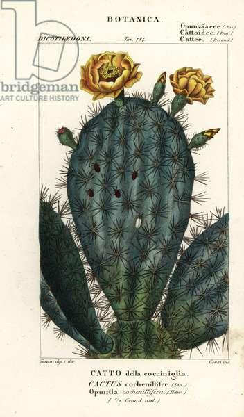 Prickly pear, Nopalea cochenillifera