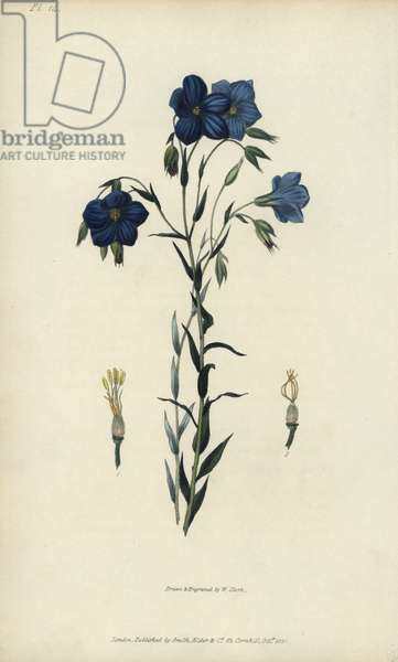 """Perennial or Narbonne flax, Linum narbonense. Handcoloured botanical illustration drawn and engraved by William Clark from Richard Morris's """"Flora Conspicua"""" London, Longman, Rees, 1826. William Clark was former draughtsman to the London Horticultural Society and illustrated many botanical books in the 1820s and 1830s."""