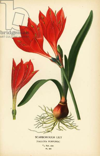Scarborough lily, Cyrtanthus elatus (Vallota purpurea). Chromolithograph from an illustration by Desire Bois from Edward Step's Favourite Flowers of Garden and Greenhouse, Frederick Warne, London, 1896.