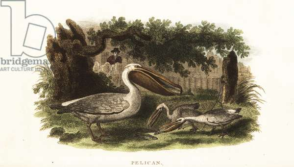 Native American method of fishing with pelicans