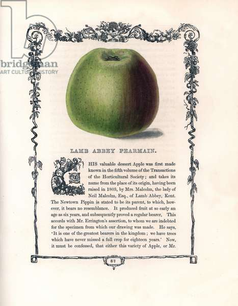"Apple-shaped pear, a variety of Pearmain d'lamb abbey. Lithograph by Benjamin Maund (1790-1863) published in The Fruitist, London, England, 1850. Lamb Abbey Pearmain apple, Malus domestica. Handcoloured glyphograph from Benjamin Maund's """" The Fruitist,"""" London, 1850, Groombridge and Sons."