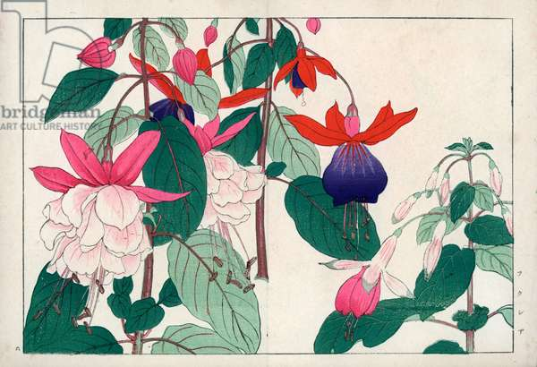 """Variety of fuchsia. Fuchsia varieties. Handcoloured woodblock print from Konan Tanigami's """""""" Seiyou Sokazufu"""""""" (Pictorial Album of Western Plants and Flowers: Summer), Unsodo, Kyoto, 1917. Tanigami (1879-1928) depicted 125 varieties of garden plants through the four seasons."""
