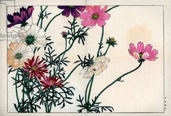 """Cosmos species with different colors from white to pink. Cosmos, Cosmos bipinnatus. Handcoloured woodblock print from Konan Tanigami's """""""" Seiyou Sokazufu"""""""" (Pictorial Album of Western Plants and Flowers: Autumn Winter), Unsodo, Kyoto, 1917. Tanigami (1879-1928) depicted 125 varieties of garden plants through the four seasons."""