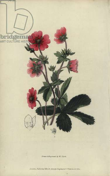 """Nepal cinquefoil, potentilla nepalensis. Handcoloured botanical illustration drawn and engraved by William Clark from Richard Morris's """"Flora Conspicua"""" London, Longman, Rees, 1826. William Clark was former draughtsman to the London Horticultural Society and illustrated many botanical books in the 1820s and 1830s."""