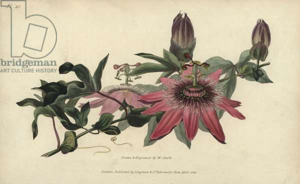 """Whitley's hybrid passionflower, Passiflora caerula-racemosa. Handcoloured botanical illustration drawn and engraved by William Clark from Richard Morris's """"Flora Conspicua"""" London, Longman, Rees, 1826. William Clark was former draughtsman to the London Horticultural Society and illustrated many botanical books in the 1820s and 1830s."""