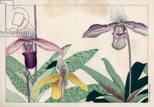 """Orchid known as Venus's hoof. Lady slipper orchids, Cypripedium varieties. Handcoloured woodblock print from Konan Tanigami's """""""" Seiyou Sokazufu"""""""" (Pictorial Album of Western Plants and Flowers: Autumn Winter), Unsodo, Kyoto, 1917. Tanigami (1879-1928) depicted 125 varieties of garden plants through the four seasons."""