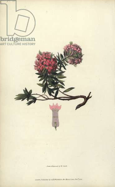 """Garland flower, Daphne cneorum. Handcoloured botanical illustration drawn and engraved by William Clark from Richard Morris's """"Flora Conspicua"""" London, Longman, Rees, 1826. William Clark was former draughtsman to the London Horticultural Society and illustrated many botanical books in the 1820s and 1830s."""
