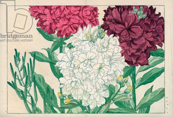 """Variete of giroflee, color white, pink and purple. Stock, Matthiola Aiton. Handcoloured woodblock print from Konan Tanigami's """""""" Seiyou Sokazufu"""""""" (Pictorial Album of Western Plants and Flowers: Spring), Unsodo, Kyoto, 1917. Tanigami (1879-1928) depicted 125 varieties of garden plants through the four seasons."""