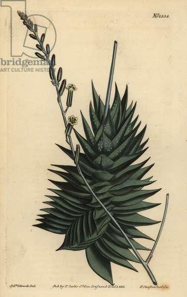 Astroloba spiralis (Pentagonal aloe, Aloe pentagona)
