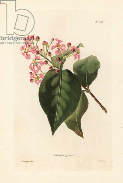 Malpighia glabra. Handcoloured copperplate engraving by George Cooke after an illustration by George Loddiges from Conrad Loddiges' Botanical Cabinet, Hackney, London, 1821.
