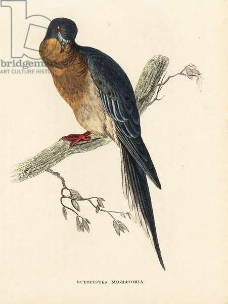 Passenger pigeon or wild pigeon. Extinct. Handcoloured steel engraving after an illustration by Edward Lear from Georg Friedrich Treitschke's Gallery of Natural History, Naturhistorischer Bildersaal des Thierreiches, Liepzig-1842.