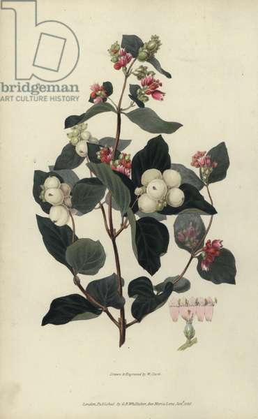 """Snowberry, Symphoria racemosa. Handcoloured botanical illustration drawn and engraved by William Clark from Richard Morris's """"Flora Conspicua"""" London, Longman, Rees, 1826. William Clark was former draughtsman to the London Horticultural Society and illustrated many botanical books in the 1820s and 1830s."""