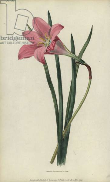 """Rosepink zephyr lily or pink rain lily, Zephyranthes carinata. Handcoloured botanical illustration drawn and engraved by William Clark from Richard Morris's """"Flora Conspicua"""" London, Longman, Rees, 1826. William Clark was former draughtsman to the London Horticultural Society and illustrated many botanical books in the 1820s and 1830s."""