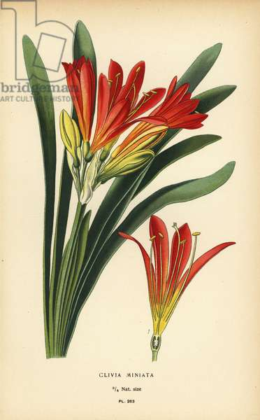 Natal lily or bush lily, Clivia miniata. Chromolithograph from an illustration by Desire Bois from Edward Step's Favourite Flowers of Garden and Greenhouse, Frederick Warne, London, 1896.