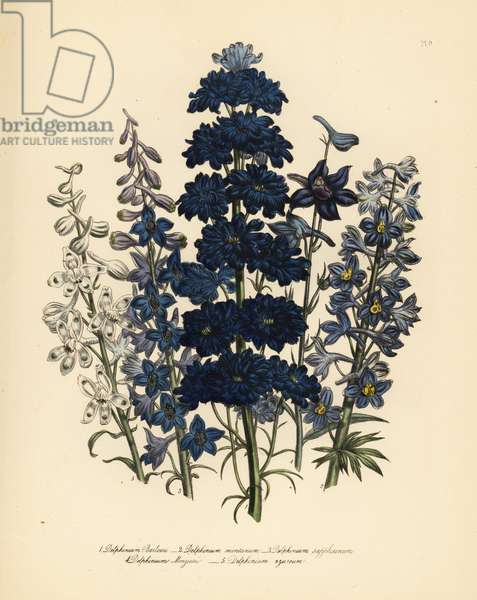 Mr. Barlow's larkspur, Delphinium barlowii, mountain larkspur, D. montana, variable bee larkspur, D. sapphirinum, Mr. Menzies' larkspur, D. menziesii, and azure larkspur, D. azureum. Handfinished chromolithograph by Henry Noel Humphreys after an illustration by Jane Loudon from Mrs. Jane Loudon's Ladies Flower Garden of Ornamental Perennials, William S. Orr, London, 1849.