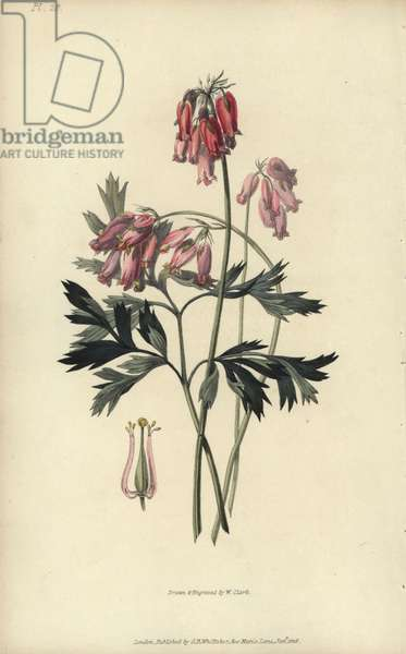 """Fringed bleeding heart, Dicentra eximia. Handcoloured botanical illustration drawn and engraved by William Clark from Richard Morris's """"Flora Conspicua"""" London, Longman, Rees, 1826. William Clark was former draughtsman to the London Horticultural Society and illustrated many botanical books in the 1820s and 1830s."""