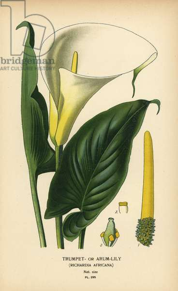 Trumpet lily, arum lily or Calla lily, Zantedeschia aethiopica (Richardia africana). Chromolithograph from an illustration by Desire Bois from Edward Step's Favourite Flowers of Garden and Greenhouse, Frederick Warne, London, 1896.