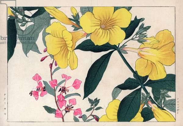 "Allamanda and clarkia elegant. Golden trumpet flower, Allamanda cathartica, and mountain garland, Clarkia unguiculata. Handcoloured woodblock print from Konan Tanigami's """" Seiyou Sokazufu"""" (Pictorial Album of Western Plants and Flowers: Summer), Unsodo, Kyoto, 1917. Tanigami (1879-1928) depicted 125 varieties of garden plants through the four seasons."