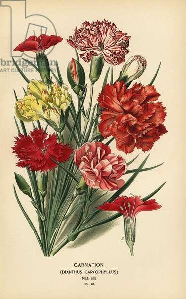 Carnation, Dianthus caryophyllus.