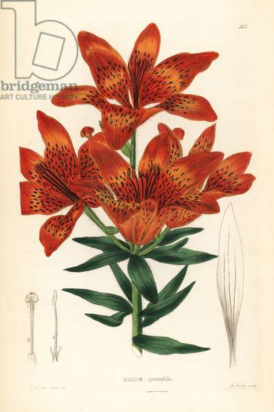 Wild lily - Siberian lily, Lilium pensylvanicum (Showy Siberian lily, Lilium spectabile). Handcoloured copperplate engraving by A. Bailey after Edwin Dalton Smith from John Lindley and Robert Sweet's Ornamental Flower Garden and Shrubbery, G. Willis, London, 1854.