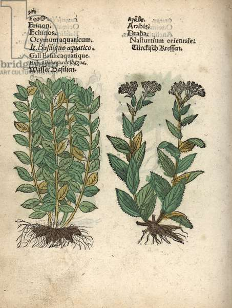 Basil, Ocimum basilicum, and whitetop or hoary cress. Handcoloured woodblock engraving of a botanical illustration from Adam Lonicer's Krauterbuch, or Herbal, Frankfurt, 1557. This from a 17th century pirate edition or atlas of illustrations only, with captions in Latin, Greek, French, Italian, German, and in English manuscript.