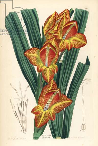 Wild Glaieul - Parrot gladiolus, Gladiolus dalenii (Natal corn-flag, Gladiolus natalensis). Handcoloured copperplate drawn and engraved by Frederick W. Smith from John Lindley and Robert Sweet's Ornamental Flower Garden and Shrubbery, G. Willis, London, 1854.