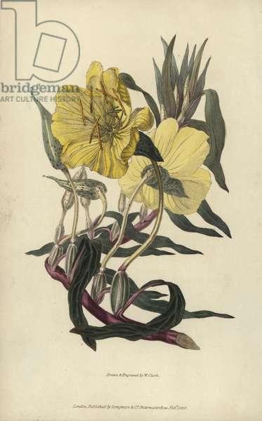 """Missouri evening primrose, Oenothera missourensis. Handcoloured botanical illustration drawn and engraved by William Clark from Richard Morris's """"Flora Conspicua"""" London, Longman, Rees, 1826. William Clark was former draughtsman to the London Horticultural Society and illustrated many botanical books in the 1820s and 1830s."""