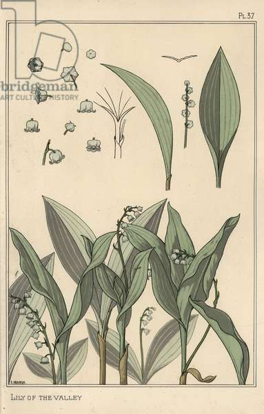 Lily of the valley, botanical study. Lithograph by E. Hervegh with stencil handcoloring from Eugene Grasset's Plants and their Application to Ornament, Paris, 1897. Eugene Grasset (1841-1917) was a Swiss artist whose innovative designs inspired the Art Nouveau movement at the end of the 19th century.