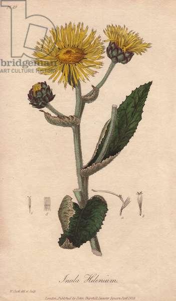 Elecampane or horse-heal, Inula helenium