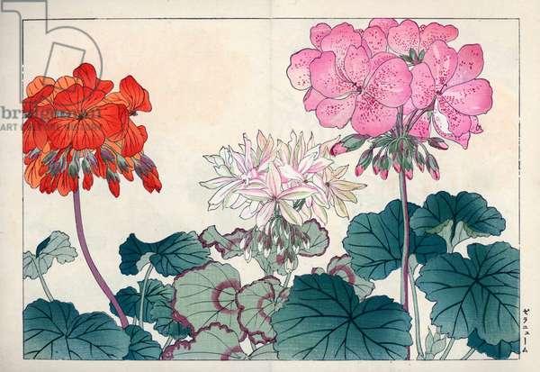 "Variete of zonal geranium. Geraniums, Pelargonium x hortorum. Handcoloured woodblock print from Konan Tanigami's """" Seiyou Sokazufu"""" (Pictorial Album of Western Plants and Flowers: Autumn Winter), Unsodo, Kyoto, 1917. Tanigami (1879-1928) depicted 125 varieties of garden plants through the four seasons."