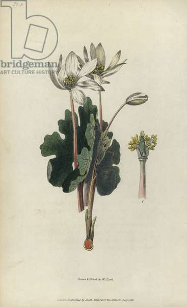 """Bloodroot, Sanguinaria canadensis. Handcoloured botanical illustration drawn and engraved by William Clark from Richard Morris's """"Flora Conspicua"""" London, Longman, Rees, 1826. William Clark was former draughtsman to the London Horticultural Society and illustrated many botanical books in the 1820s and 1830s."""