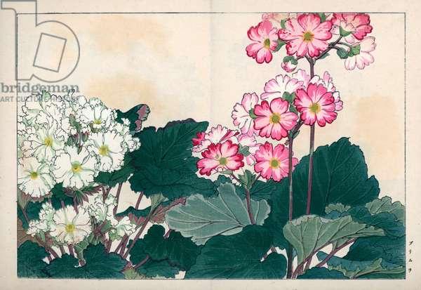 "Variety of garden primeveres. Primula varieties. Handcoloured woodblock print from Konan Tanigami's """" Seiyou Sokazufu"""" (Pictorial Album of Western Plants and Flowers: Autumn Winter), Unsodo, Kyoto, 1917. Tanigami (1879-1928) depicted 125 varieties of garden plants through the four seasons."