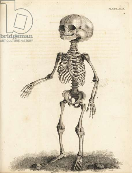 Fetal skeleton at the time of birth. Copperplate engraving by Edward Mitchell after an anatomical illustration by Jean-Joseph Sue from John Barclay's A Series of Engravings of the Human Skeleton, MacLachlan and Stewart, Edinburgh, 1824.